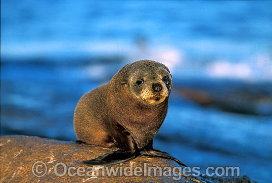 New Zealand Fur Seal (Arctocephalus forsteri) - pup. Neptune Islands, South Australia. Listed as Low Risk on the IUCN Red List.