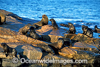 New Zealand Fur Seals Photo - Gary Bell