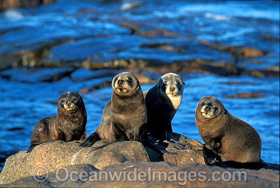 New Zealand Fur Seals (Arctocephalus forsteri). Neptune Islands, South Australia. Listed as Low Risk on the IUCN Red List.