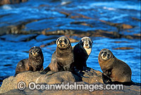 New Zealand Fur Seals Arctocephalus forsteri Photo - Gary Bell