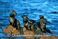 New Zealand Fur Seals pups Photo - Gary Bell