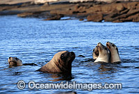 Australian Sea Lions bull with cows