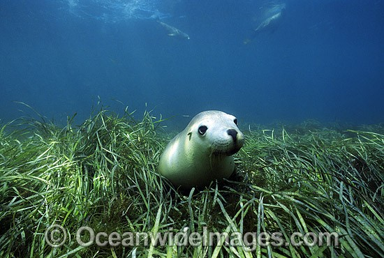 Australian Sea Lion (Neophoca cinerea) amongst seagrass. Hopkins Island, South Australia. Classified as Endangered on the IUCN Red List.