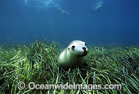 Australian Sea Lion amongst seagrass