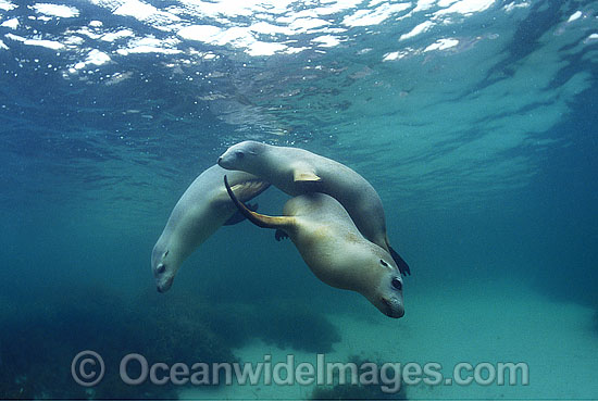Australian Sea Lions Neophoca cinerea photo