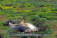 Australian Sea Lions cuddling Photo - Gary Bell