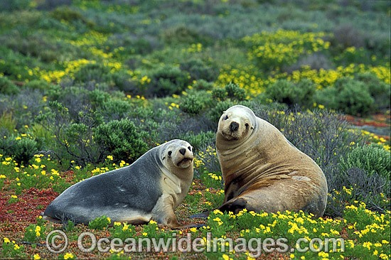 Australian Sea Lions (Neophoca cinerea) - resting. Anvil Island, Recherche Archipelago Nature Reserve, Esperance, Western Australia. Classified as Endangered on the IUCN Red List. Photo - Gary Bell