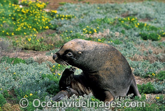 Australian Sea Lion (Neophoca cinerea) - juvenile bull. Anvil Island, Recherche Archipelago Nature Reserve, Esperance, Western Australia. Classified as Endangered on the IUCN Red List.