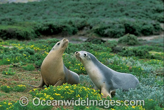 Australian Sea Lions (Neophoca cinerea) - cows. Anvil Island, Recherche Archipelago Nature Reserve, Esperance, Western Australia. Classified Endangered on the IUCN Red List. Photo - Gary Bell