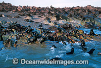 Cape Fur Seal colony Photo - Gary Bell