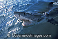 Great White Shark jaws photo