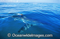 Great White Shark beneath the surface photo