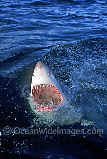 Great White Shark (Carcharodon carcharias) with open jaws on surface. Gansbaai, South Africa. Protected species Classified as Vulnerable on the IUCN Red List. Photo - Gary Bell