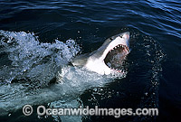 Great White Shark with open jaws Photo - Gary Bell