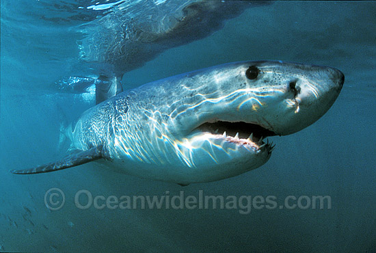 Great White Shark (Carcharodon carcharias) underwater. Also known as White Pointer and White Death. Gansbaai, South Africa. Listed as Vulnerable Species on the IUCN Red List.