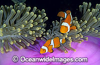 Amphiprion percula Clown Anemonefish photo