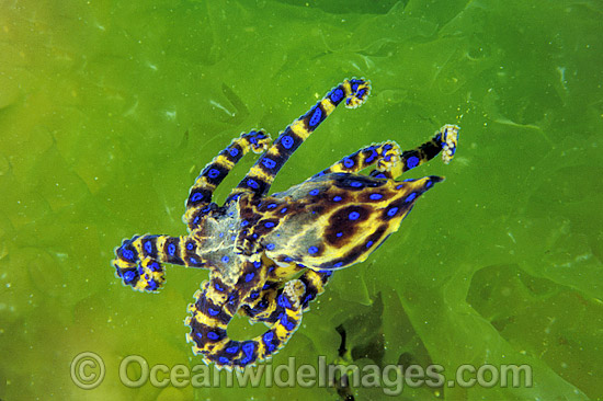 Southern Blue-ringed Octopus (Hapalochlaena maculosa) - on lettuce weed. Port Phillip Bay, Victoria, Australia. Extremely venomous and dangerous temperate octopus.