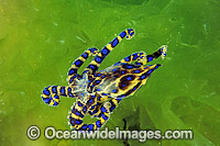 Blue-ringed Octopus Hapalochlaena maculosa Photo - Gary Bell
