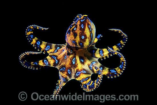 Blue ringed octopus size - photo#16