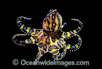 Blue-ringed Octopus Hapalochlaena maculosa photo