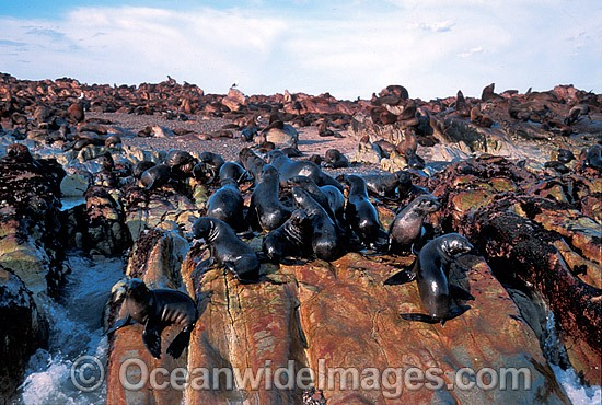 Cape Fur Seal colony photo