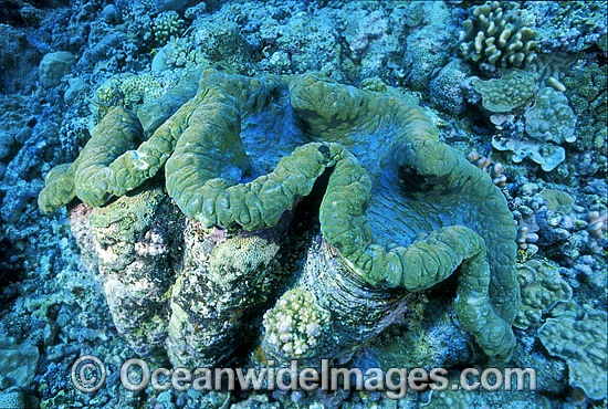 Giant Clam Tridacna gigas photo