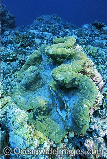 Giant Clam (Tridacna gigas). Great Barrier Reef, Queensland, Australia