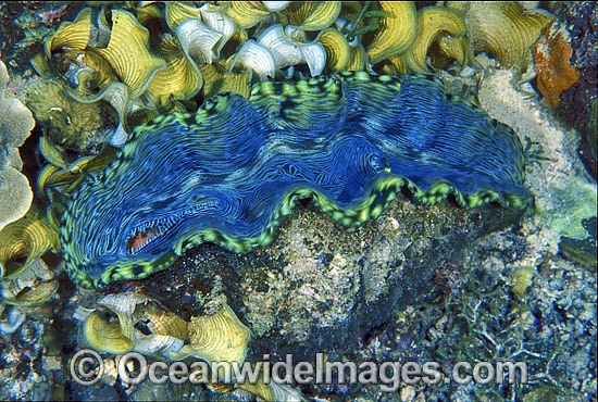 Giant Clam (Tridacna derasa). Great Barrier Reef, Queensland, Australia