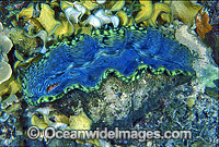 Giant Clam Tridacna derasa Photo - Gary Bell