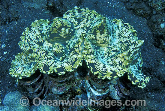 Giant Clam Tridacna sp. photo