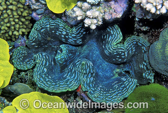 Giant Clam (Tridacna sp.). Great Barrier Reef, Queensland, Australia Photo - Gary Bell
