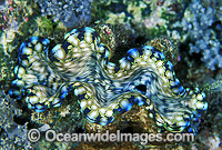 Giant Clam Tridacna squamosa Photo - Gary Bell