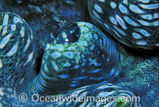 Giant Clam (Tridacna sp.). Great Barrier Reef, Queensland, Australia