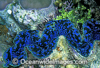 Giant Clam Tridacna sp. Photo - Gary Bell