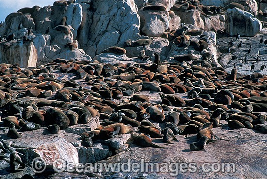 Cape Fur Seal colony (Arctocephalus pusillus pusillus). Same species as Australian Fur Seal. Dyer Island, South Africa