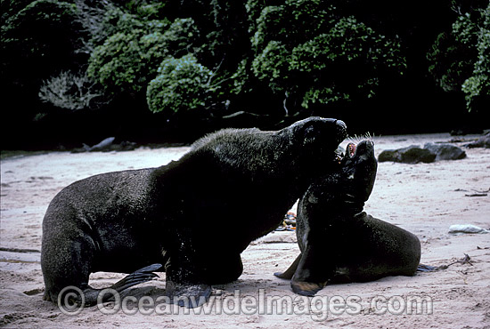 Hooker's Sea Lion (Phocarctos hookeri) - bull courting cow. Also known as New Zealand Sealion. Stewart Island, New Zealand. Listed as Vulnerable Species on the IUCN Red List.
