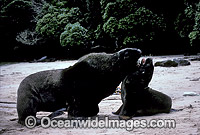 Hooker's Sea Lion bull courting cow Photo - Gary Bell