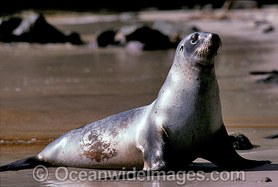 Hooker's Sea Lion Phocarctos hookeri cow photo