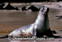 Hooker's Sea Lion Phocarctos hookeri cow Photo - Gary Bell