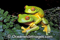Mating Red-eyed Tree Frogs Litoria chloris image