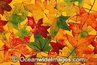 Autumn leaves of the liquid amber tree photo