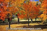 Autumn colours Pistacia chinensis trees Photo - Gary Bell