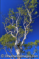 Ghost gum Central Australia photo