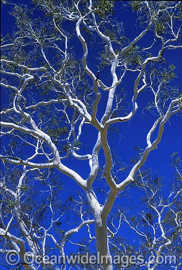 Ghost gum. MacDonnell Ranges, Northern Territory, Central Australia. Photo - Gary Bell