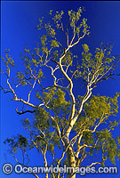 Ghost gum MacDonnell Ranges Central Australia photo