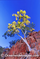 Ghost gum on cliff face MacDonnell Ranges Photo - Gary Bell