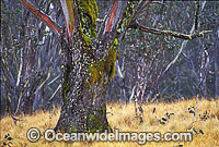 Moss covered eucalypt gum tree photo