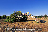 Wind-swept Eucalypt gum tree caused by wind Photo - Gary Bell
