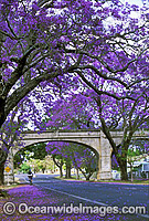 Jacaranda trees of Grafton photo