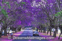 Jacaranda tree avenue Grafton photo